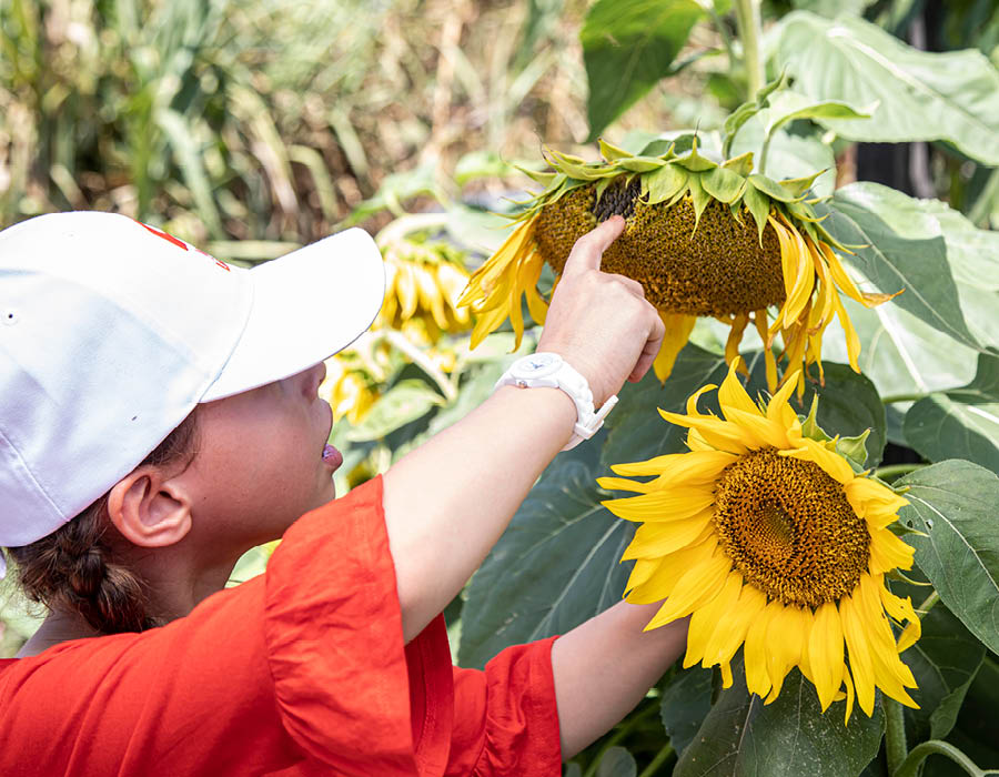 Checking a sunflower for bugs